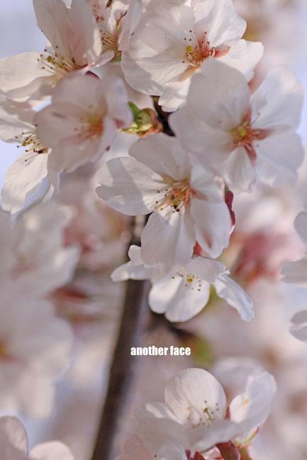 0402-Sakura3.jpg