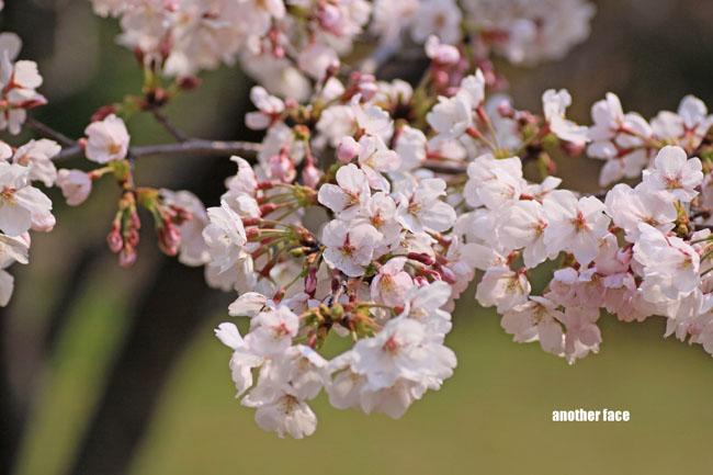 0402-Sakura4.jpg