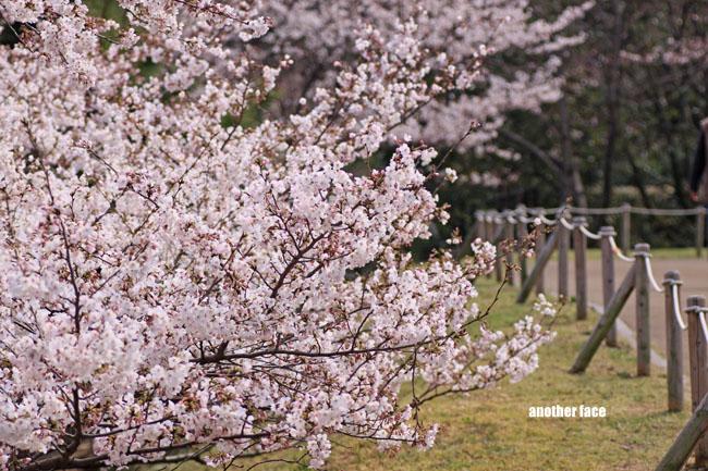 0402-Sakura6.jpg