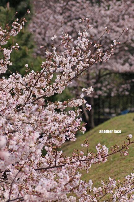 0402-Sakura7.jpg