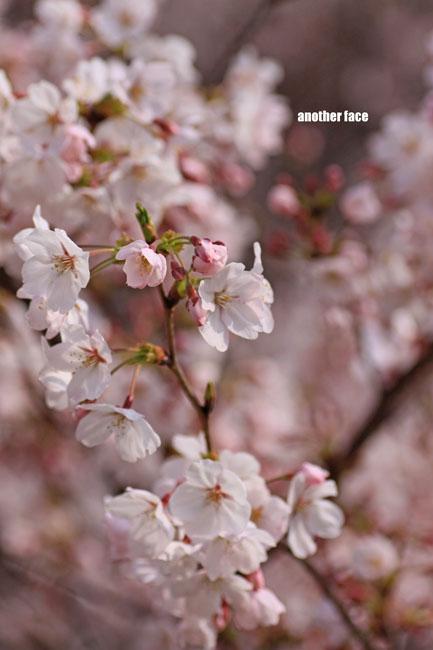 0402-Sakura8.jpg