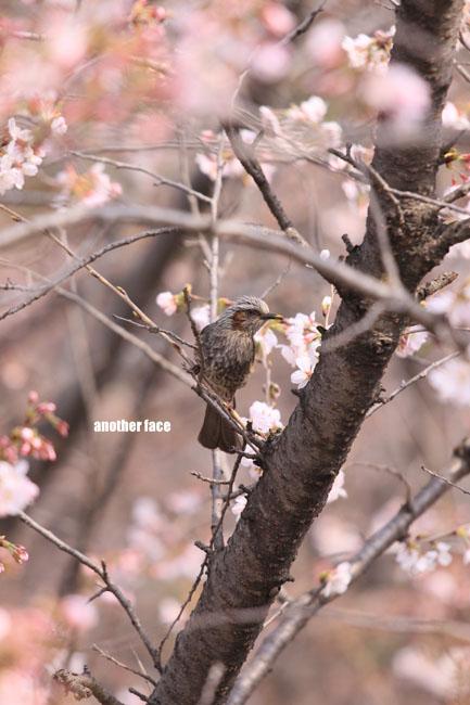 0402-Sakura9.jpg