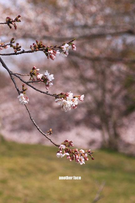 0402-Sakura1