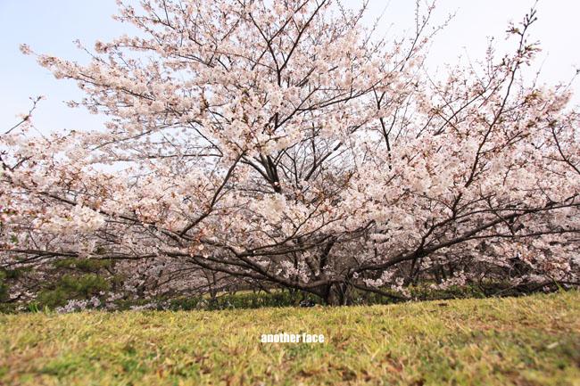 0402-Sakura5