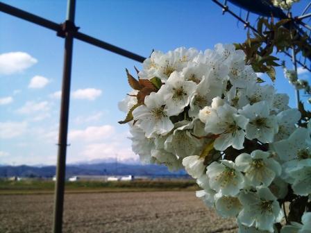 2011.05.05もぎ取り園(5)2