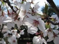 2007.4.4桜
