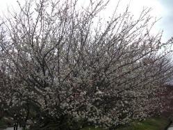 梅は三分咲き