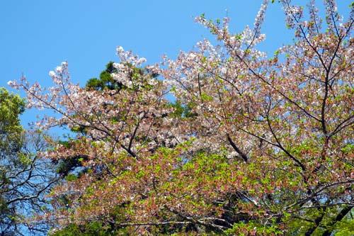 黒田神社の桜