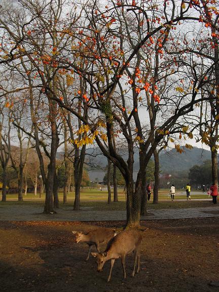 9 奈良公園・柿
