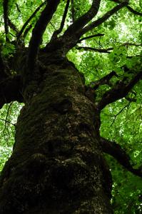 何の木かは知らない巨樹