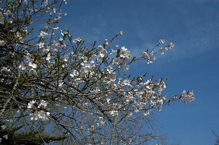 岩殿城跡の桜