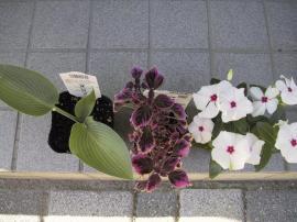 070610ハルシオン・コリウス・日々草