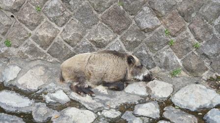 天上川の猪 (2) - コピー