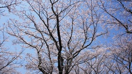 播中公園 お花見 (33) - コピー