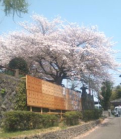 H230410桜