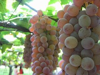 「 ぶどう 」 この時期の代表的な果物です。