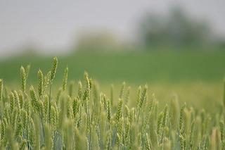 6月ごろの 「 小麦の穂 」