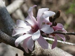 「シデコブシの花」 WEBサイトよりお借りした写真です。。。