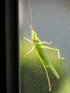 今朝出勤してきたら、バッタが窓越しにのぞいていました。