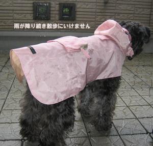 雨ばかりで散歩にいけません
