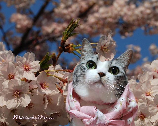 ミリンと桜