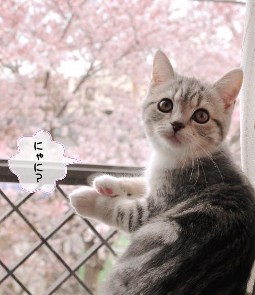 まりんと桜