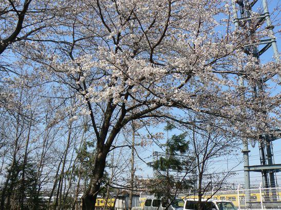 雑木林の桜012
