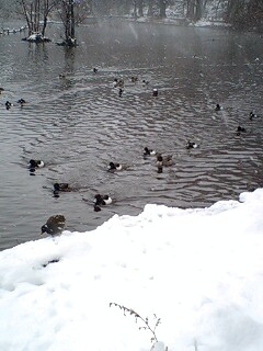 080203_1202~0001雪の石神井公園 寒い中泳ぐ鴨