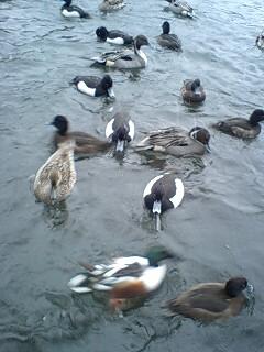 080203_1617~0001雪の石神井公園寒中の鴨達1