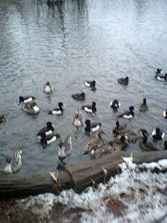 080203_1619~0001雪の石神井公園寒中の鴨達3