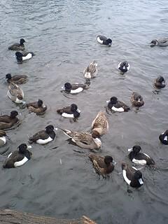 080203_1622~0001雪の石神井公園寒中の鴨達4