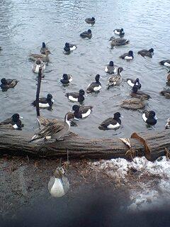 080203_1622~0002雪の石神井公園寒中の鴨達5の
