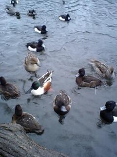 080203_1641~0002雪の石神井公園寒中の鴨達6