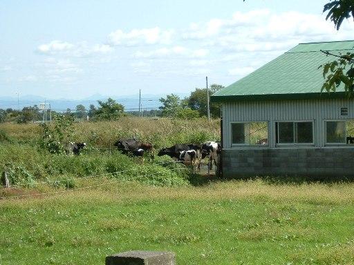 駅前通に牛小屋