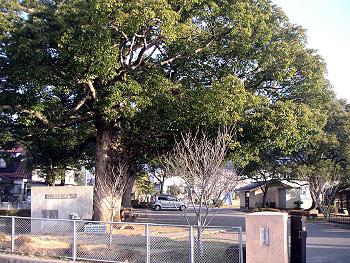 郷学温故堂、美祢郡役所跡の樟