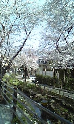 北沢川緑地の桜