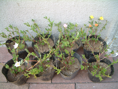 ポーチュラカの挿し芽