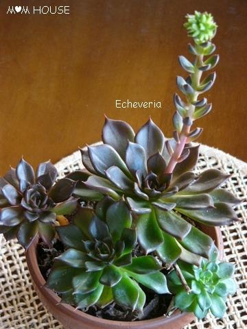 Echeveria