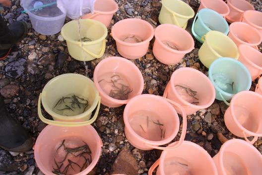 新潟 荒川 鮭の稚魚放流