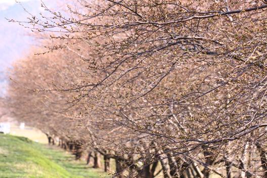 越後 荒川 河川敷 桜