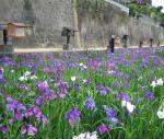 花しょうぶ祭りは大盛況