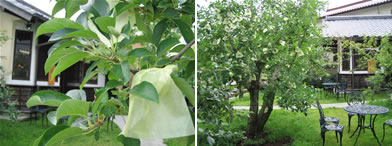 林檎はもう袋がけされています