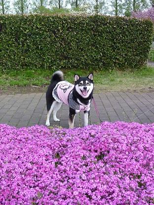 0424芝桜も咲いたよ!