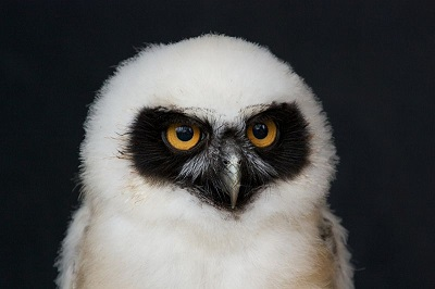 800px-Baby_spectacled_owl.jpg