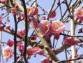 保土ヶ谷公園の梅