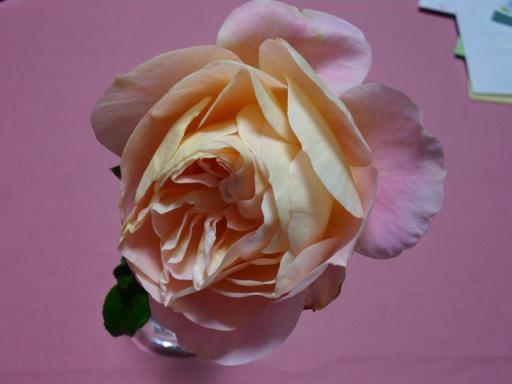 冬のバラ1