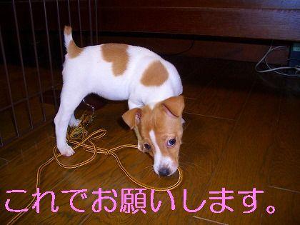 モデル犬デビュー