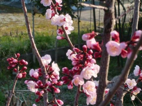 20110325春めく1947