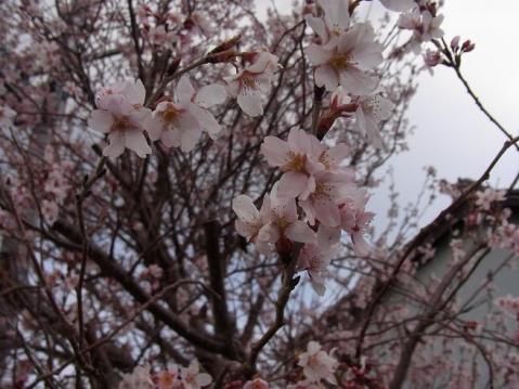 20110326春めく21262