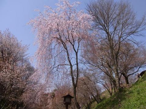 20110410 吉野山お花見ポタ1282